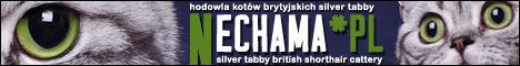 Nechama*PL hodowla kotów brytyjskich silver tabby